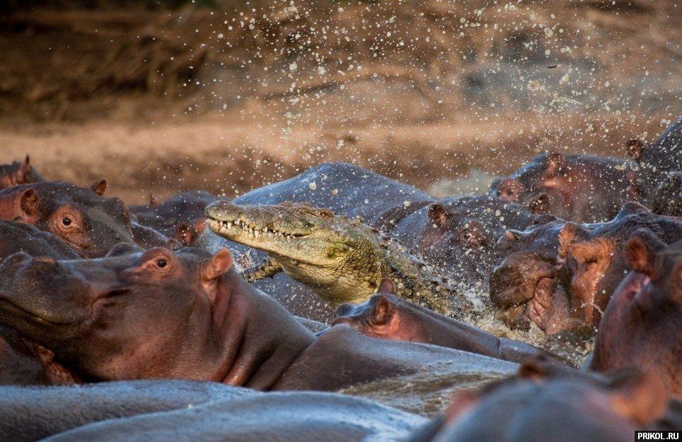 croco-vs-hippo-03
