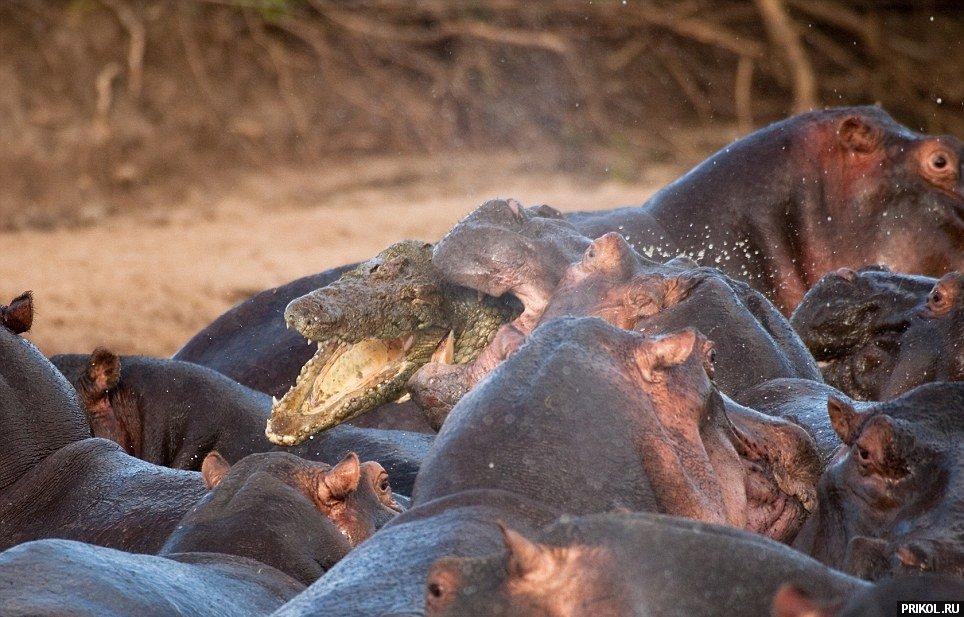 croco-vs-hippo-05