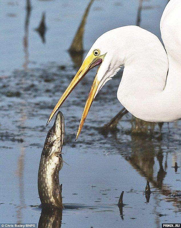 можно цапля и рыба картинки узнаем