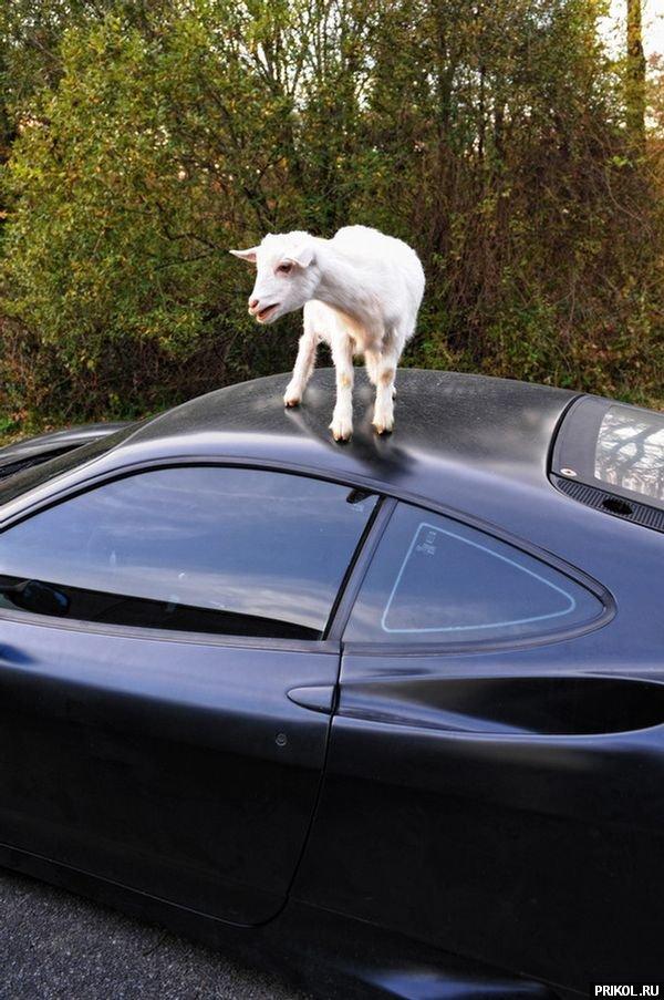 goat-on-ferrari-04