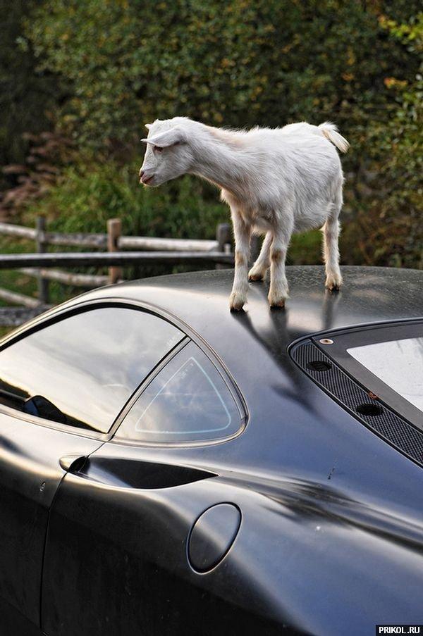 goat-on-ferrari-05