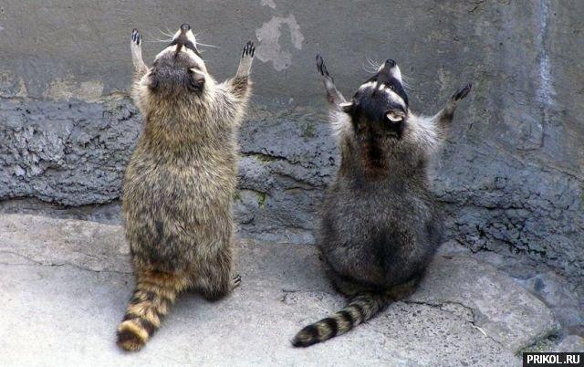 prikol-racoons-16
