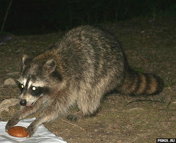 prikol-racoons-17