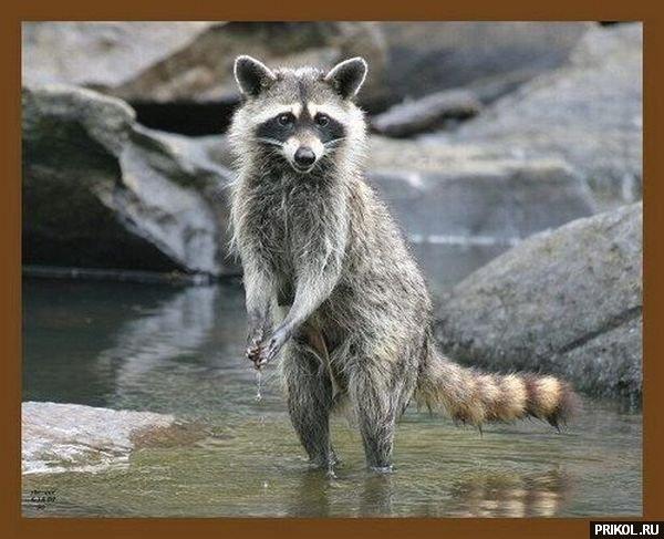 prikol-racoons-29