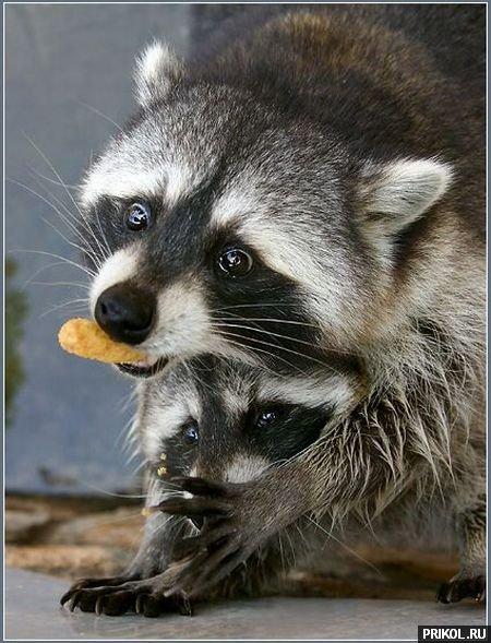 prikol-racoons-31