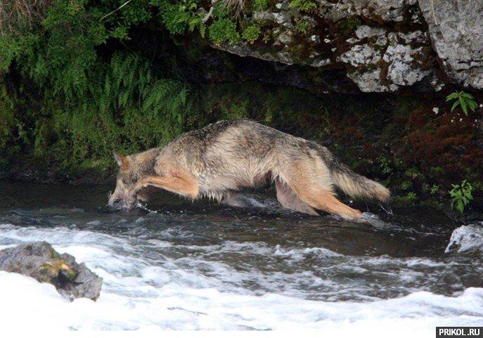 wolf-fishing-01