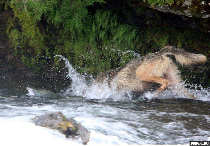 wolf-fishing-02