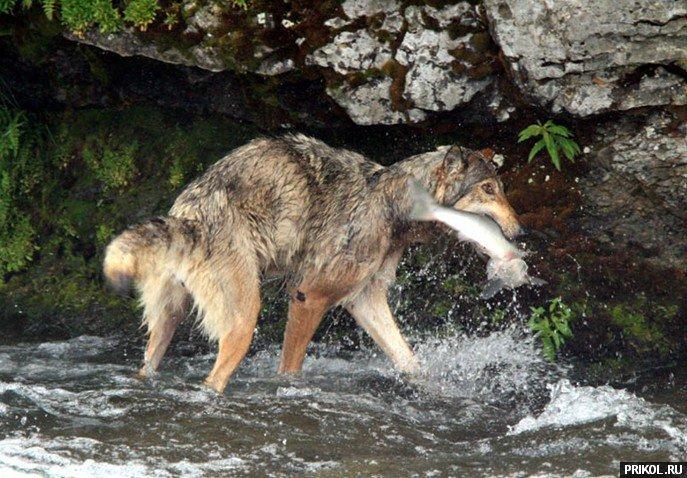 wolf-fishing-04