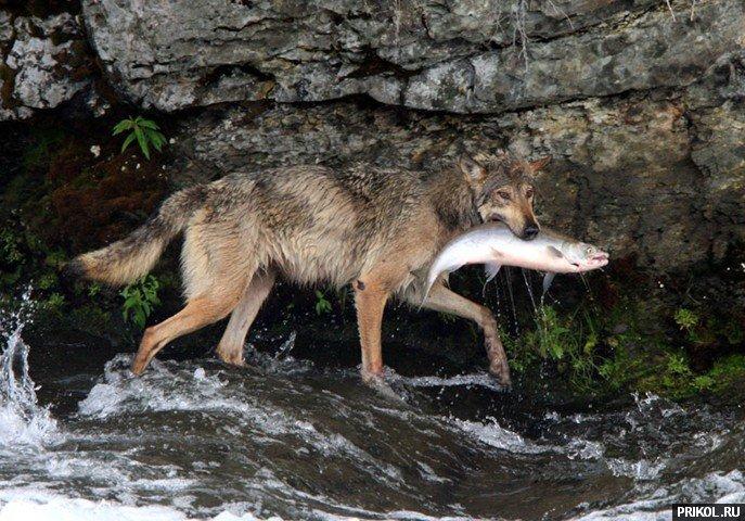 wolf-fishing-05