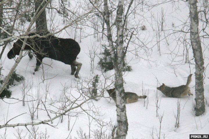 wolves-vs-moose-01