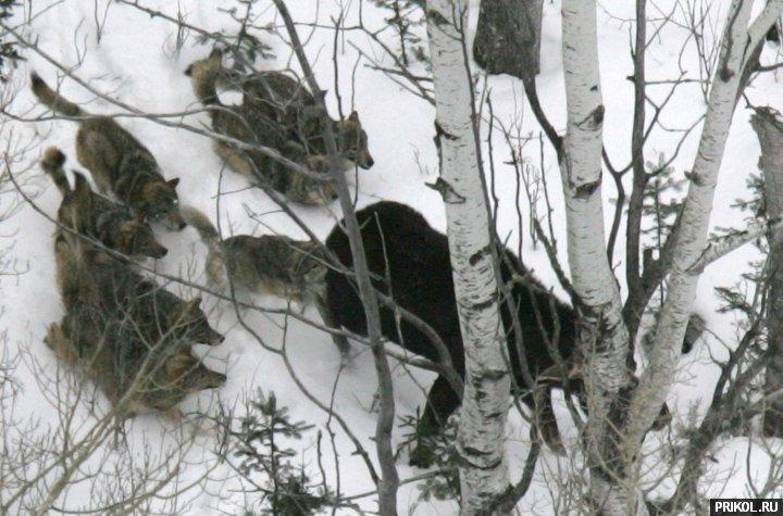 wolves-vs-moose-02