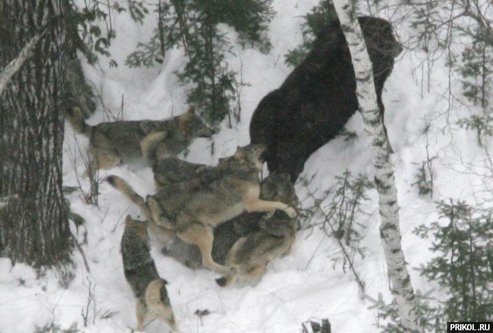 wolves-vs-moose-03