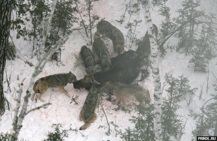 wolves-vs-moose-04