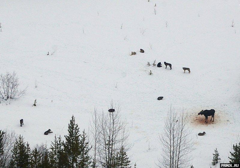 wolves-vs-moose-05