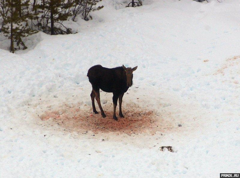 wolves-vs-moose-07
