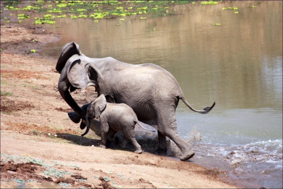 Картинка слон и крокодил