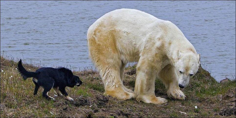 Собаки и Белый Медведь