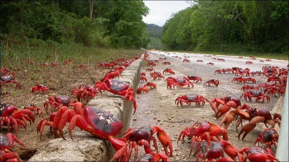 миграция красных крабов в австралии Свердел
