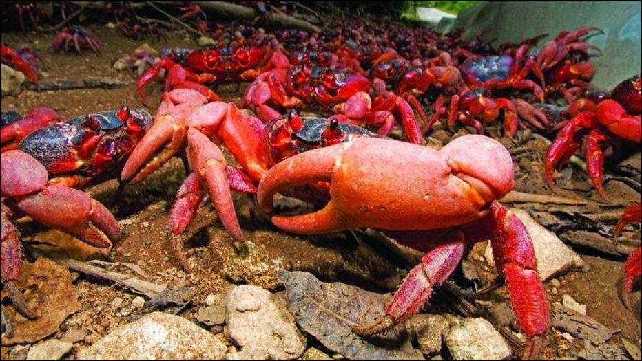 Миграция красных крабов на Острове Рождества