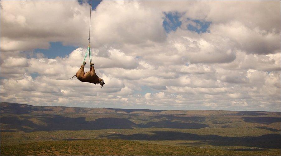 Носорог переезжает