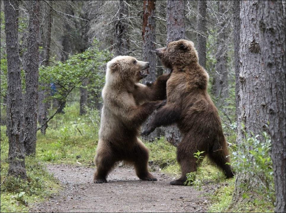 Медведи подрались из-за лосося