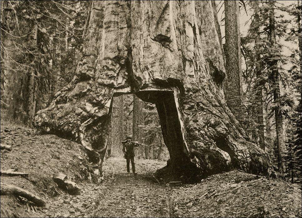 Гиганты среди деревьев