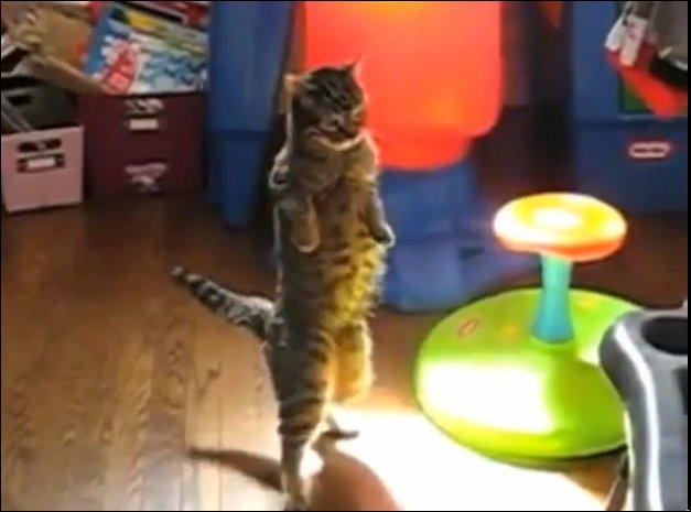 Коты на задних лапах