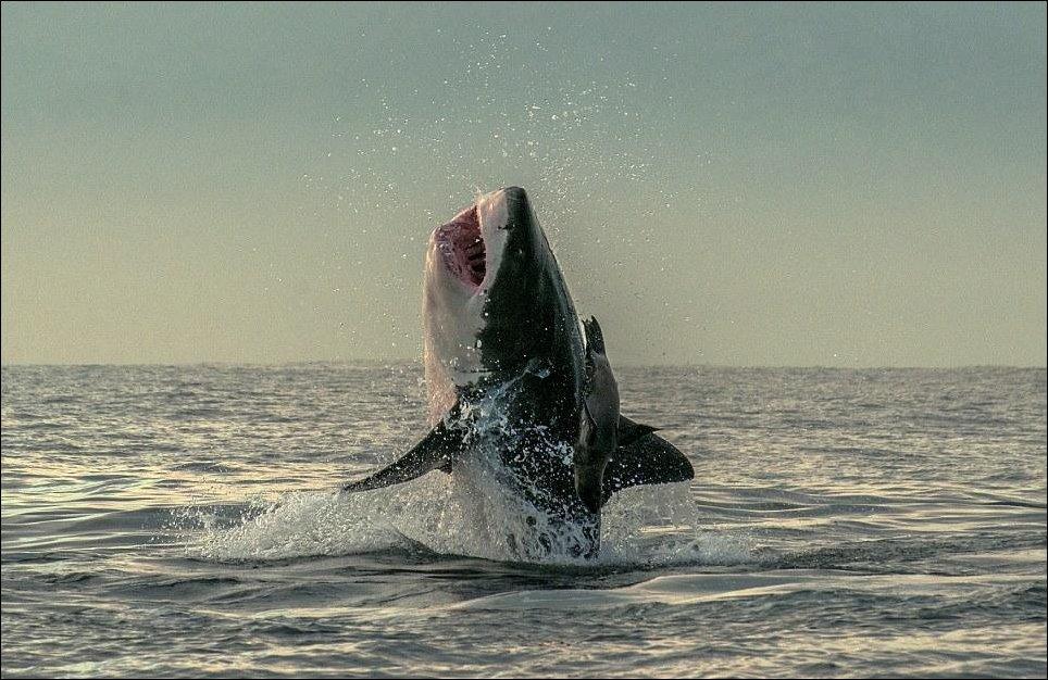 Акула и тюлень