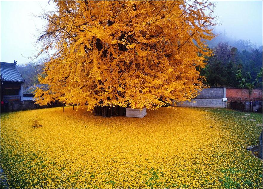 1400-летнее дерево Гинкго