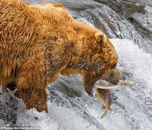 bears-fishing-02