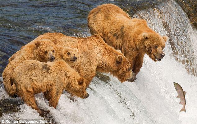 bears-fishing-03