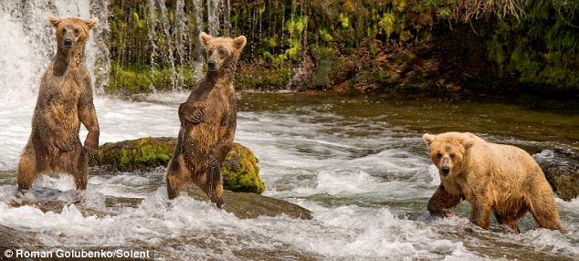 bears-fishing-04
