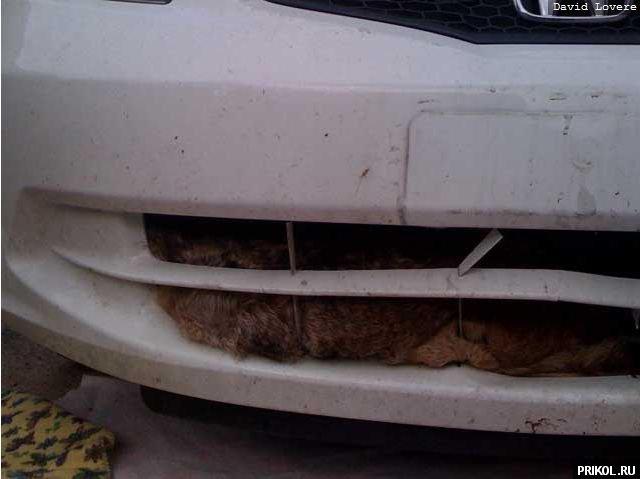 coyote-in-car-02