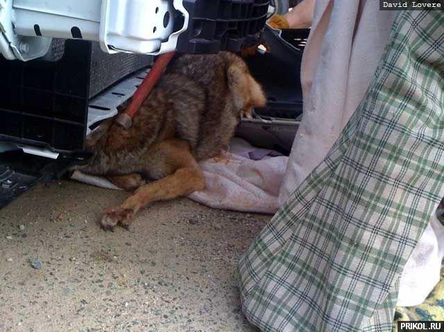 coyote-in-car-05