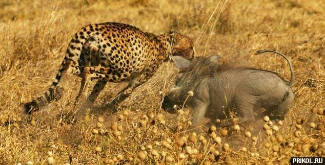 kaban-vs-gepard-01