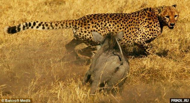 kaban-vs-gepard-02