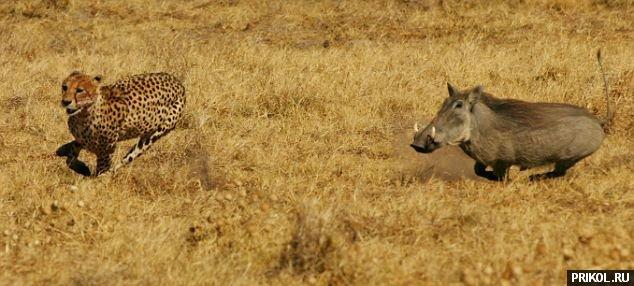 kaban-vs-gepard-03
