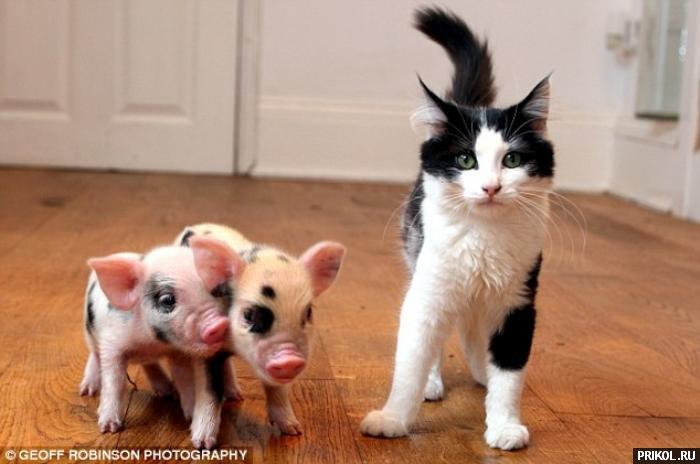 micro-pigs-02