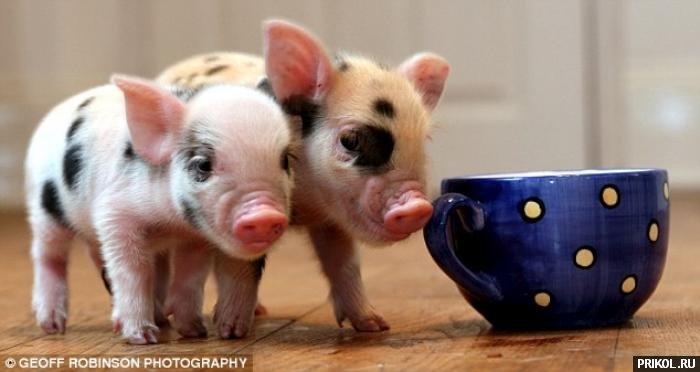 micro-pigs-05