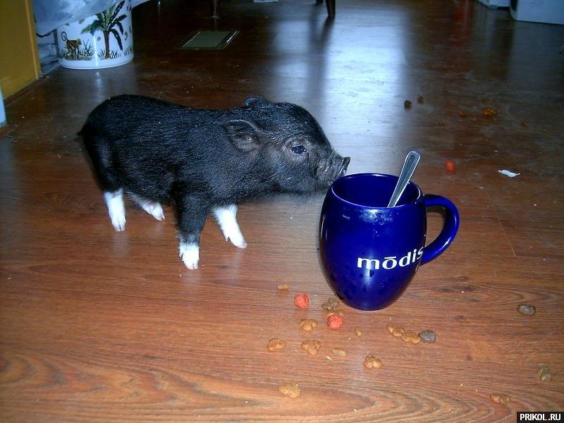 micro-pigs-07