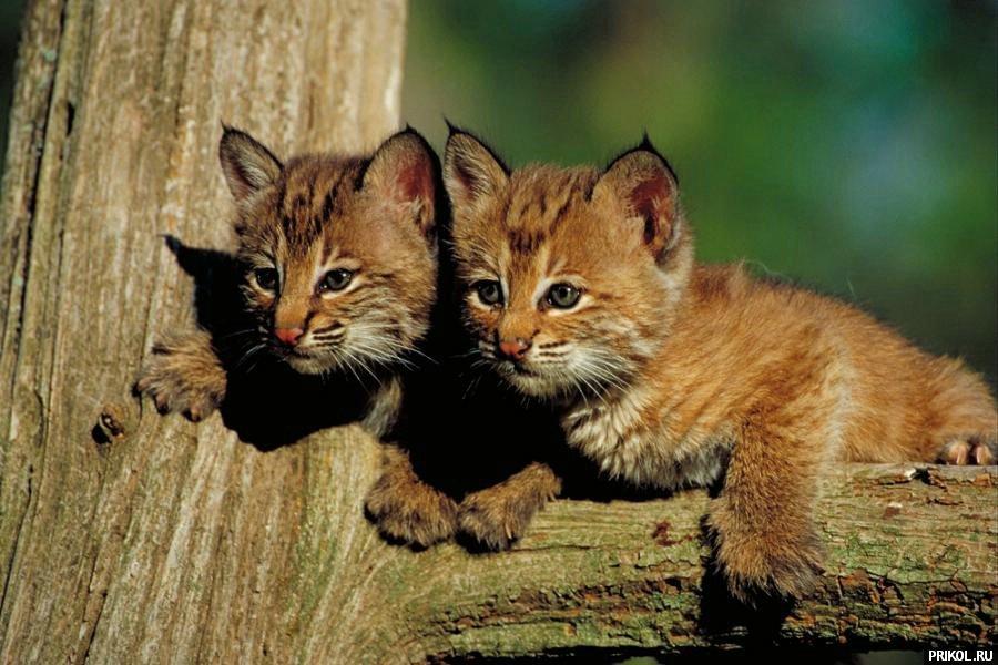 wild-cats-07
