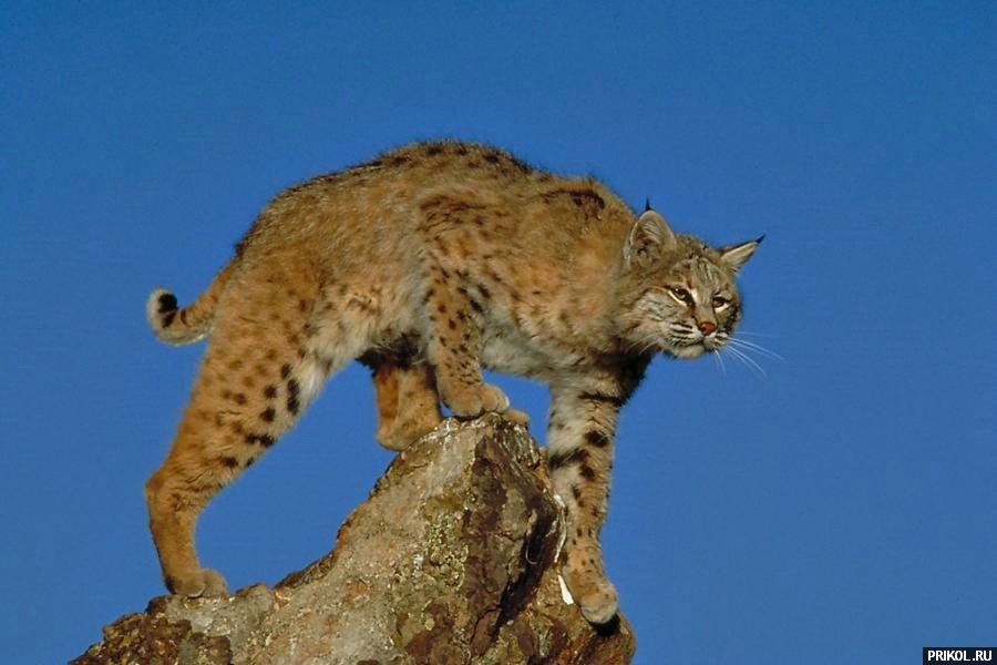 wild-cats-11