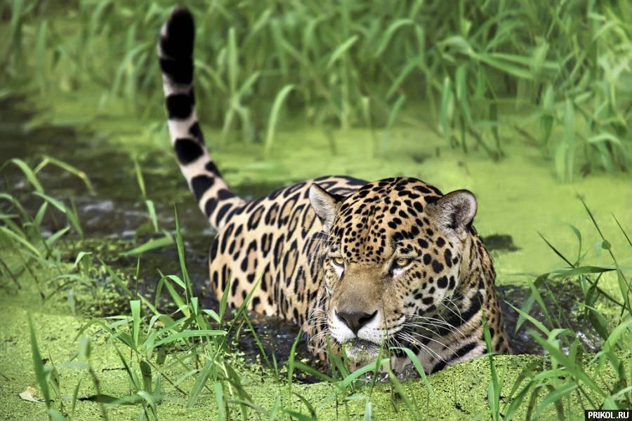 wild-cats-33