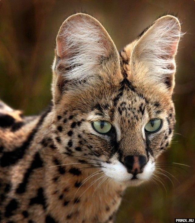 wild-cats-44