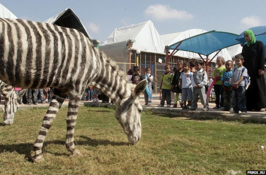 zebra-02