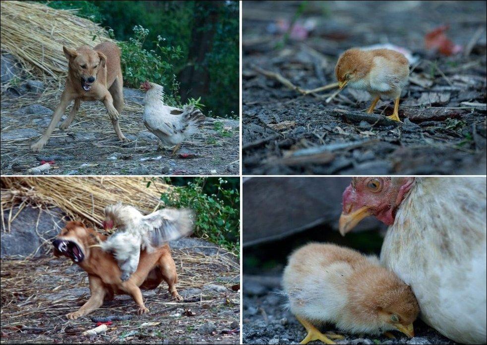 Храбрая курица, цыпленок и собака