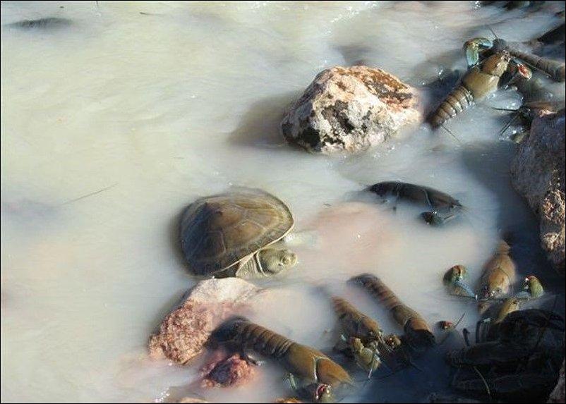 Раки в реке Купер Крик