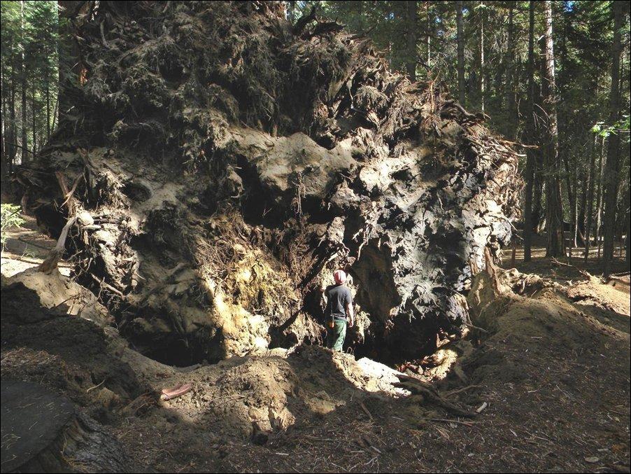 Упавшая секвойя