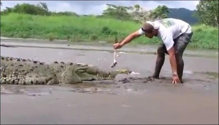 Кормежка крокодила