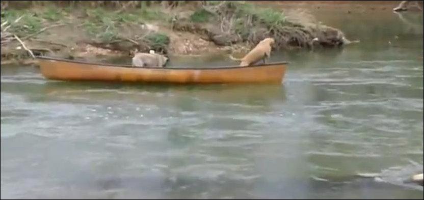 Лабрадор спасает уплывающих на каноэ собак